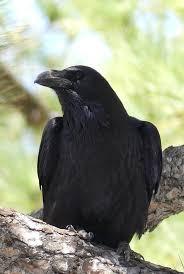 Connaissez-vous bien le grand corbeau ?