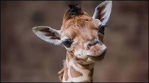 Comment s'appelle le petit protégé de la maman girafe ?