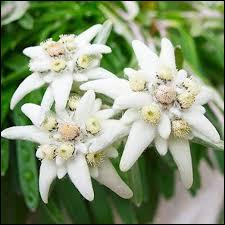 A quelle hauteur approximative pousse cette fleur de montagne, l'edelweiss ?