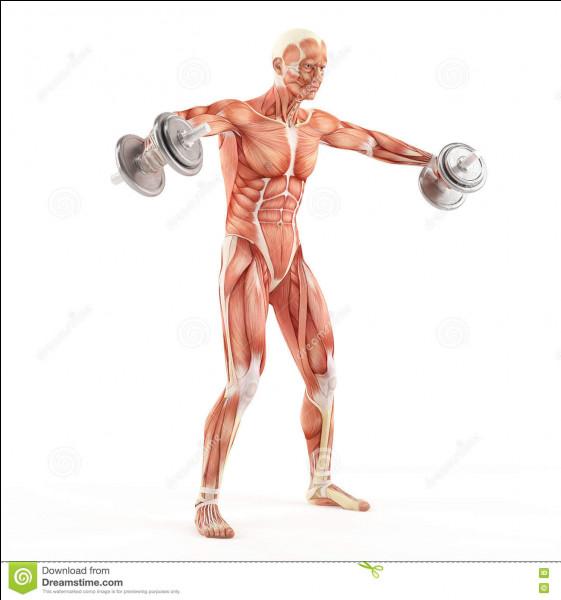 Dans quelle partie du corps se trouve le muscle deltoïde ?