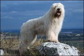 Comment se nomme cette race de chien destiné à la garde des troupeaux de moutons ?