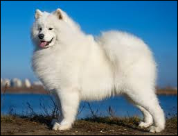 Quel est le nom de la race de ce chien nordique ?