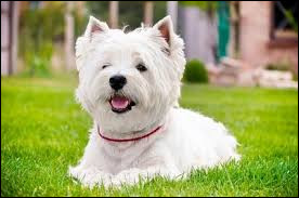 Comment s'appelle cette race de chien originaire d'Écosse ?