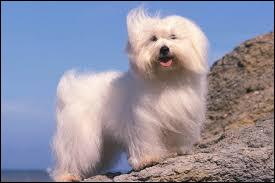 Quel est le nom de la race de ce petit chien à long poils ?