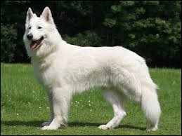Comment se nomme cette race de chien robuste et élégant ?