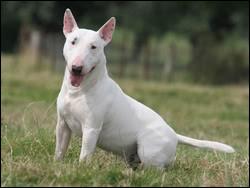 Comment s'appelle cette race de chien d'origine anglaise ?