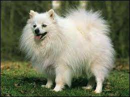 Quel est le nom de cette race de chien originaire d'Allemagne ?