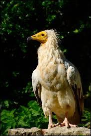 Combien pèse le vautour percnoptère ?