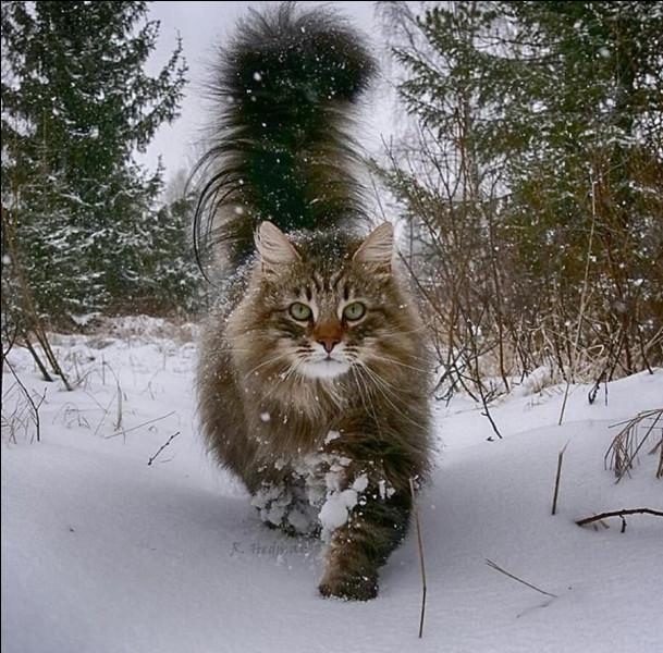 Ma race de chat préférée ! Comment s'appelle-t-il ?