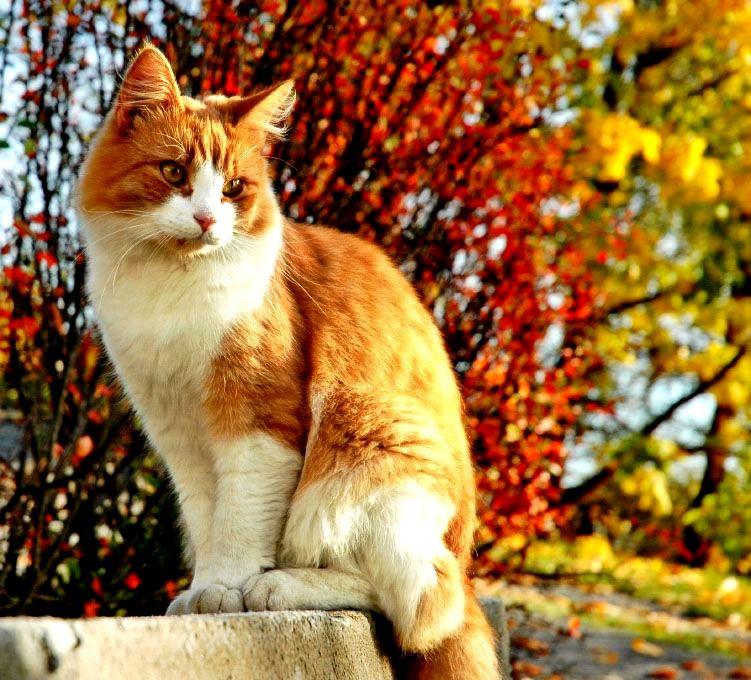 Des races de chats que je trouve magnifiques
