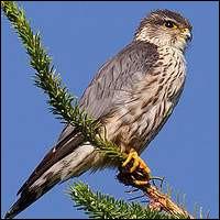 Comment s'appelle cet oiseau de proie ?
