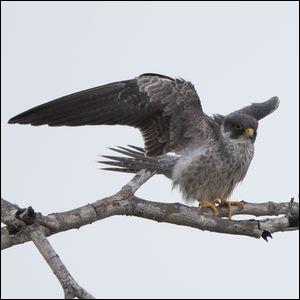 Comment s'appelle ce faucon ?