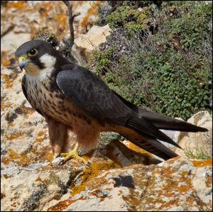 Sauriez-vous identifier ce faucon ?
