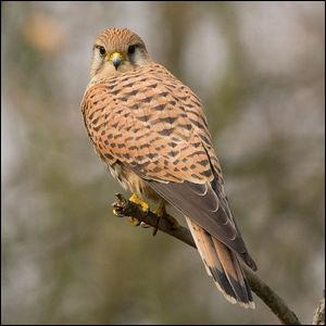 Ce rapace porte le nom de faucon...