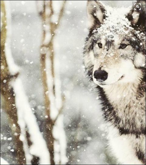 Quel est le nom scientifique du loup ?