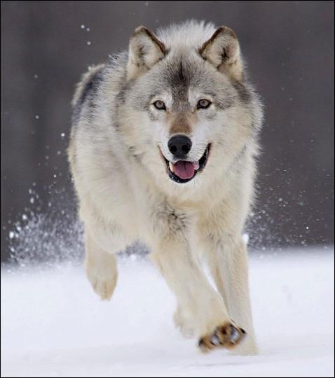Jusqu'à quelle vitesse le loup peut-il courir ?