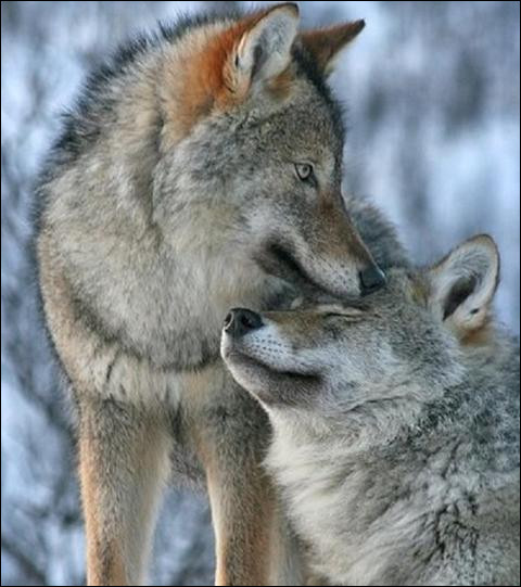 Combien de petits la louve peut-elle avoir dans une portée ?