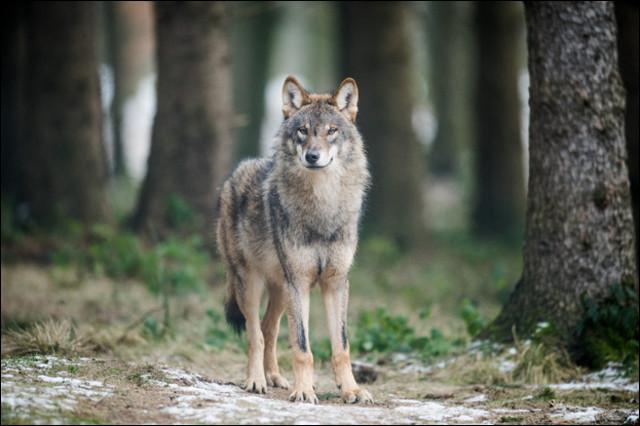 Combien pèse le loup ?