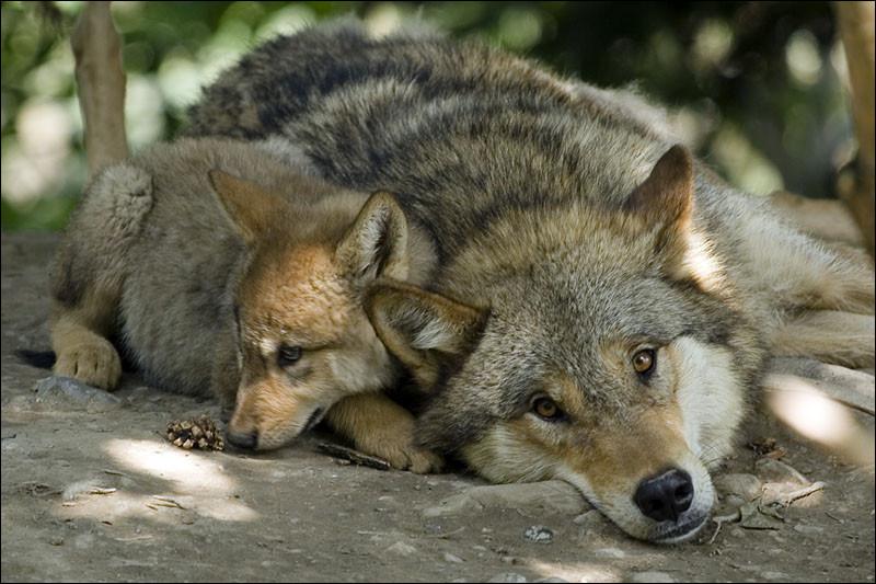 À quel âge les loups peuvent-ils se reproduire ?