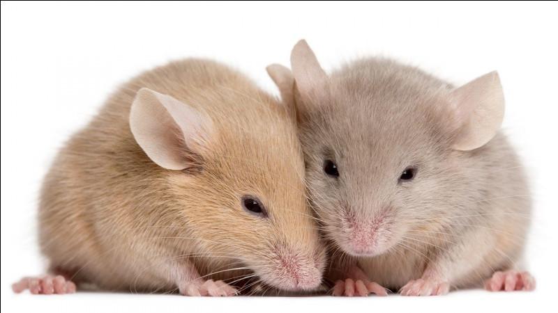Vous connaissez tous les souris de nos greniers, mais connaissez-vous la taille de la souris pygmée originaire d'Afrique (sans la queue) ?