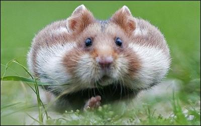 Comment s'appellent les poches où le hamster stocke sa nourriture ?