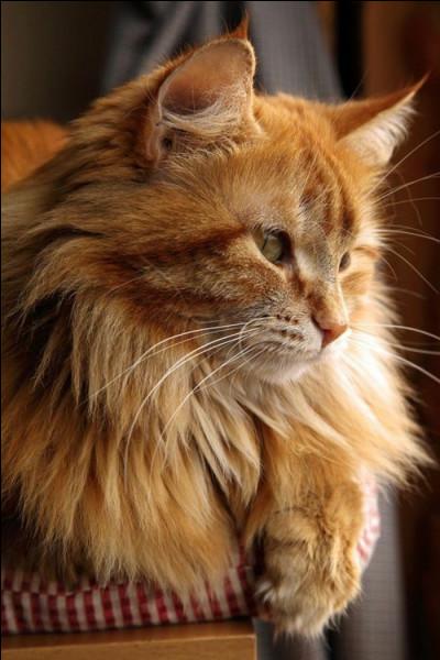Ce joli chat est un...