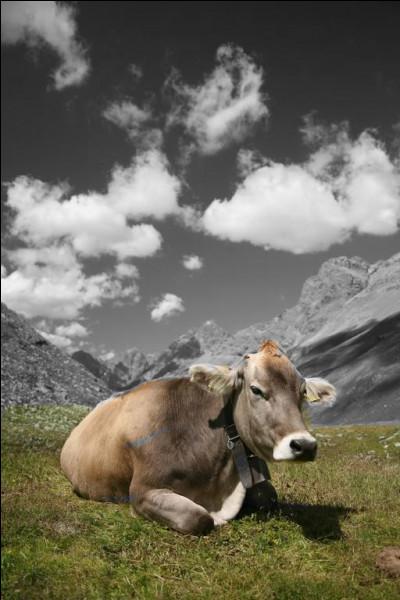 C'est ma dernière question vache ! Quelle est cette race bovine suisse ?