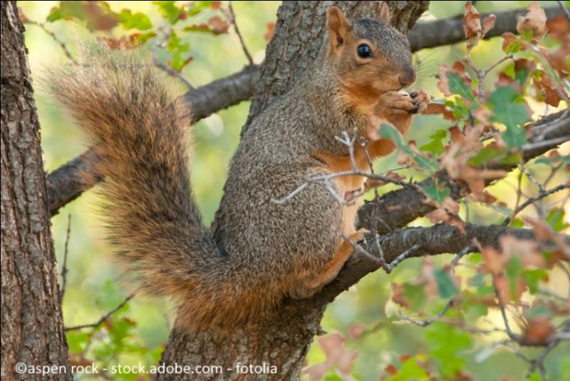 Cet écureuil est un écureuil :