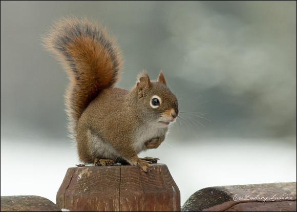 De quelle espèce est cet écureuil ?