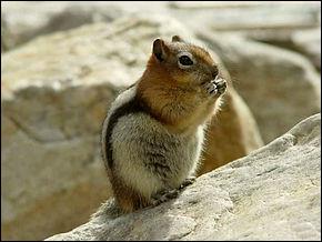 Voilà des écureuils qu'on ne voit pas tous les jours ! Comment s'appelle celui-ci ?