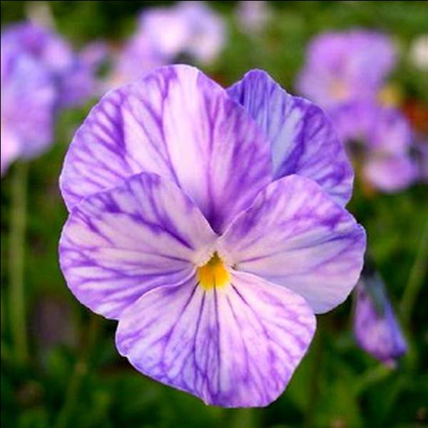 La violette cornue est une plante bisannuelle cultivée comme vivace.