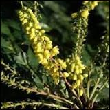 Les fleurs de mahonia forment des grappes jaunes très parfumées.