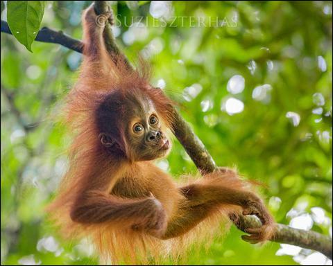 Le bébé orang-outan reste avec sa mère jusqu'à ses...