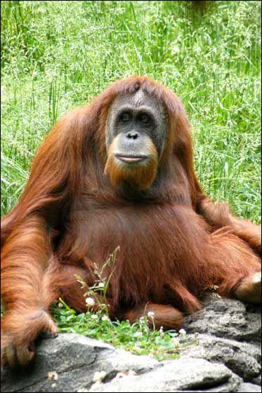 """Que signfie """"orang-outan"""" en malais ?"""