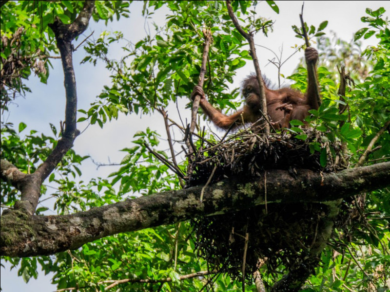 L'orang-outan garde le même nid de branchages tous les soirs.