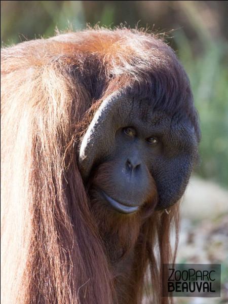 Cet orang-outan est une femelle.