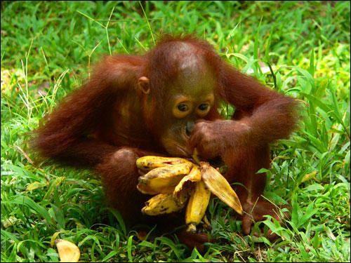 L'orang-outan consacre .... à son alimentation la journée.