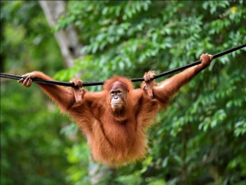 Un animal – L'orang-outan