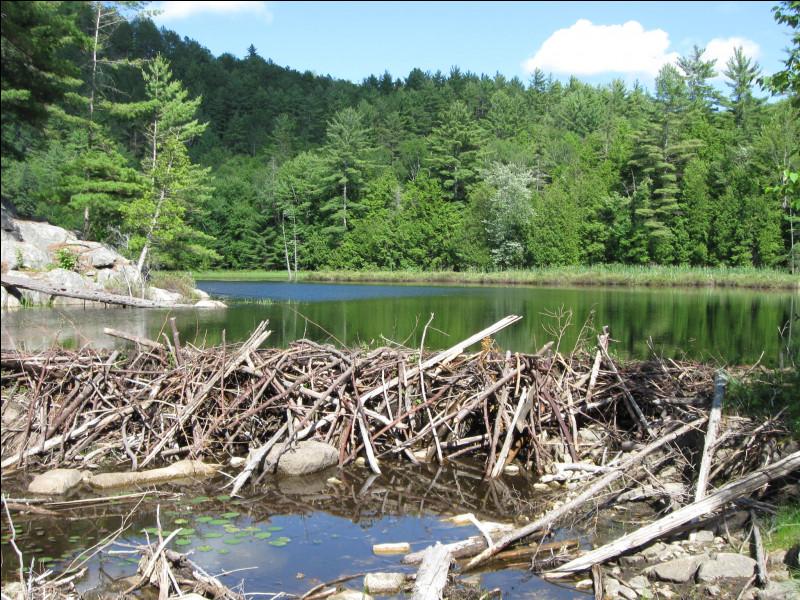 De quelles espèces de bois se sert-il le plus souvent pour construire ses barrages ?