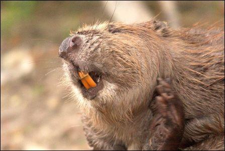 Le castor ne possède pas de canines