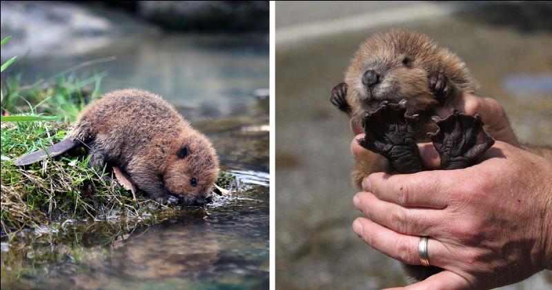 Combien de temps, les bébés castors restent-ils dans la hutte ?