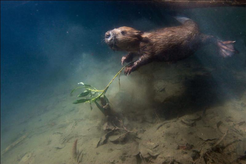 Le castor peut rester sous l'eau pendant :