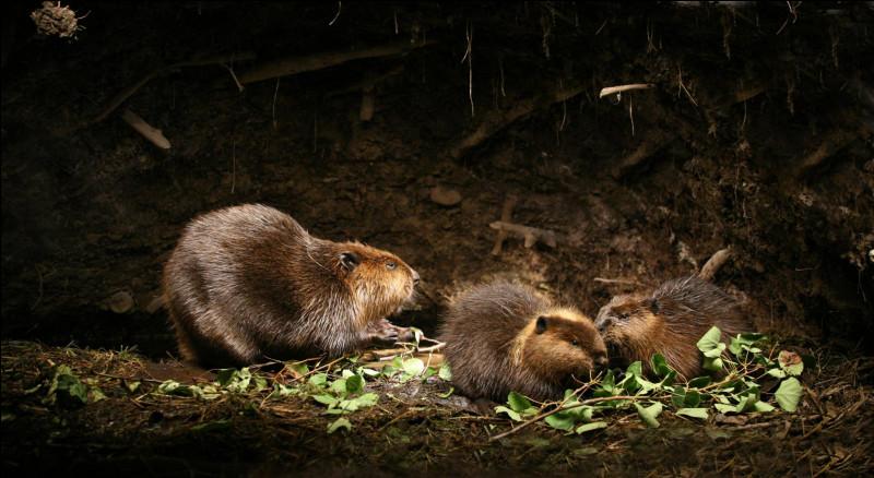 Le castor du Canada hiberne-t-il ?