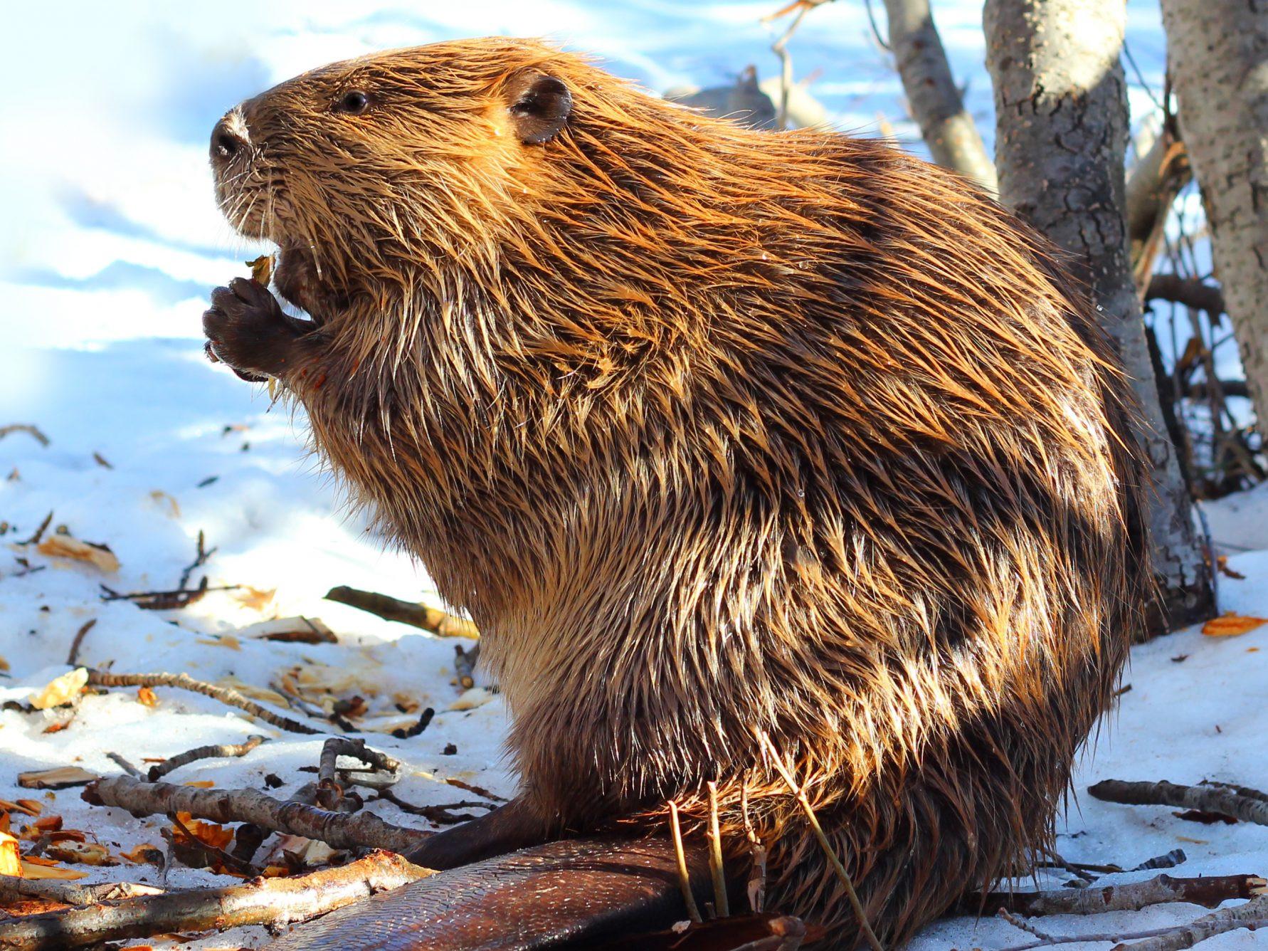 Un animal - Le castor du Canada