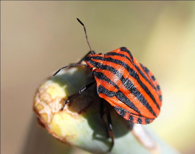 À quoi servent les rayures orange et noires de la punaise arlequin ?