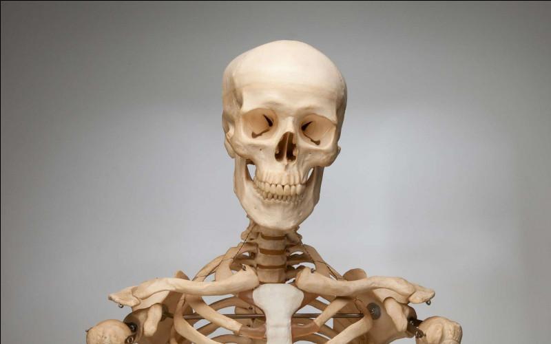 Parmi ces os du corps humain, lequel se situe dans la cuisse ?