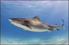 Quel est le seul animal marin que le requin blanc n'ose pas attaquer ?