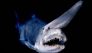 Que ne fait pas le requin blanc quand il s'énerve devant un adversaire ?