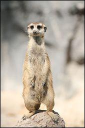 Les suricates s'installent parfois sur le dos d'animaux plus gros qu'eux et y restent quelques heures, dans le but de se déplacer plus rapidement.