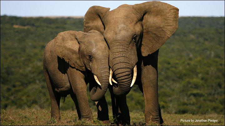 L'éléphant peut mourir de tristesse.
